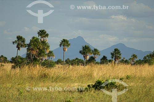 Assunto: Buritizal (Mauritia flexuosa) na fronteira do Brasil com a Guiana - Onde estão as cabeceiras de rios que correm para Roraima / Local: Perto de Bonfim - Norte de Roraima - Brasil / Data: Janeiro de 2006