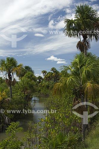 Assunto: Igarapé do Lavrado de Roraima, com Aninga (Montrichardia arborescens) e Buritis (Mauritia flexuosa) / Local: Estrada Boa Vista-Pacaraima - Roraima - Brasil / Data: Janeiro de 2006