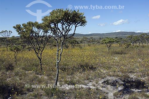Assunto: Cerrado do PARNA (Parque Nacional) Chapada dos Veadeiros, mostrando um campo rupestre em floração / Local: perto de Alto Paraíso de Goiás - Goiás (GO) - Brasil / Data: Junho de 2006