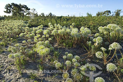 Assunto: Grande formação de Sempre-Viva (Paepalanthus sp.) na estrada Ponte Alta do Tocantins - Mateiro, na época seca, no caminho para o Jalapão / Local: Tocantins (TO) - Brasil / Data: Junho de 2006
