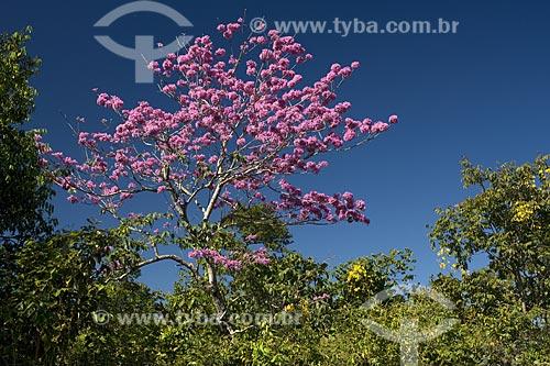 Assunto: Ipê-rosa (Tabebuia avellanedae) no cerrado da serra do Lajeado, perto de Palmas / Local: Tocantins (TO) - Brasil / Data: Junho de 2006