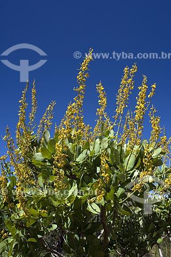 Assunto: Flores de arbusto do Cerrado, na serra do Lajeado, perto de Palmas / Local: Tocantins (TO) - Brasil / Data: Junho de 2006