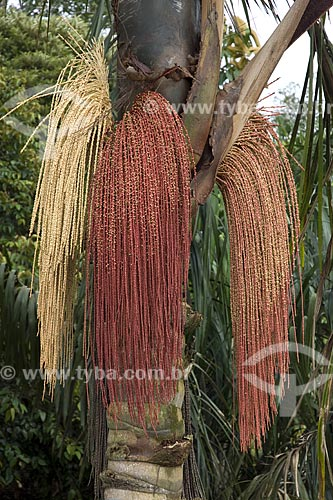 Assunto: Inflorescência da bacaba (Oenocarpus bacaba), na floresta amazônica de terra-firme da Fazenda Patauá Grande, perto de Terra Santa / Local: Pará (PA) - Brasil / Data: Junho de 2006