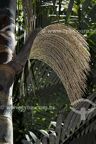 Subject: Inflorescência de patauá ou batauá (Oenocarpus bataua), na beira de um igarapé, na floresta amazônica de terra-firme da Fazenda Patauá Grande, perto de Terra Santa / Local: Pará (PA) - Brasil / Data: Junho de 2006