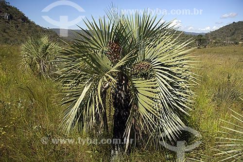 Assunto: Butiá (Butia eriospatha) em um campo do PARNA (Parque Nacional) Chapada dos Veadeiros, no cerrado de Goiás / Local: Goiás (GO) - Brasil / Data: Junho de 2006