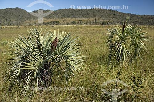 Assunto: Butiás (Butia eriospatha) em um campo do PARNA (Parque Nacional) Chapada dos Veadeiros, no cerrado de Goiás / Local: Goiás (GO) - Brasil / Data: Junho de 2006