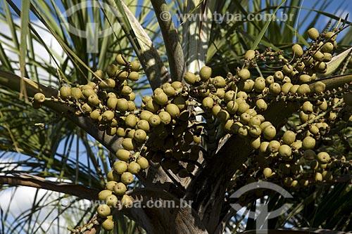 Assunto: Frutos de buritirana (Mauritiella armata) no caminho para as dunas do Parque Estadual do Jalapão / Local: Tocantins (TO) - Brasil / Date: Junho de 2006