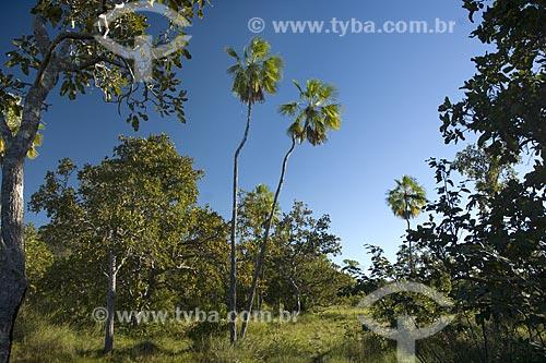 Assunto: Carnaúba (Copernicia prunifera) atestando sua presença no Cerrado / Local: Mato Grosso (MT) - Brasil / Data: Junho de 2006