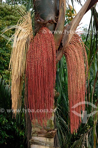 Inflorescência da bacaba (Oenocarpus bacaba), na floresta amazônica de terra-firme da Fazenda Patauá Grande, perto de Terra Santa / Local:  Pará - Brasil / Data: 2009