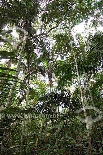 Patauazal (Oenocarpus bataua), na beira de um igarapé, na floresta amazônica de terra-firme da Fazenda Patauá Grande, perto de Terra Santa, Pará, Brasil.  - Terra Santa - Pará