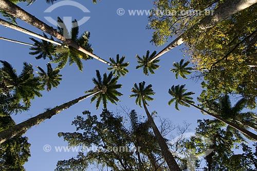 Assunto: Copas de palmeiras-imperiais (Roystonea regia) no Jardim Botânico do Rio de Janeiro / Local: Rio de Janeiro - RJ - Brasil / Data: Agosto de 2006