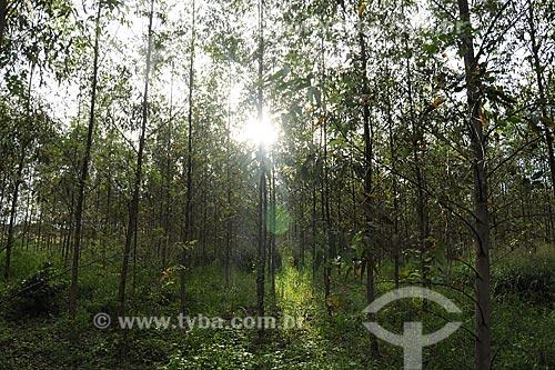 Assunto: Arvores de eucalipto para reflorestamento / Local: Paragominas - Pará - Brasil / Data: 30-03-2009