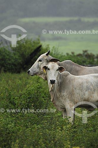 Assunto: Vacas no pasto / Local: Fazenda Juparana - Paragominas - Pará - Brasil / Data: 31-03-2009