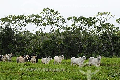 Assunto: Vacas de diversas racas no pasto / Local: Fazenda Juparana - Paragominas - Pará - Brasil / Data: 31-03-2009