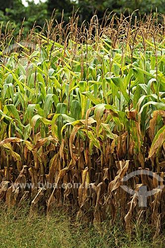 Assunto: Plantacao de milho / Local: Fazenda Juparana - Paragominas - Pará - Brasil / Data: 31-03-2009