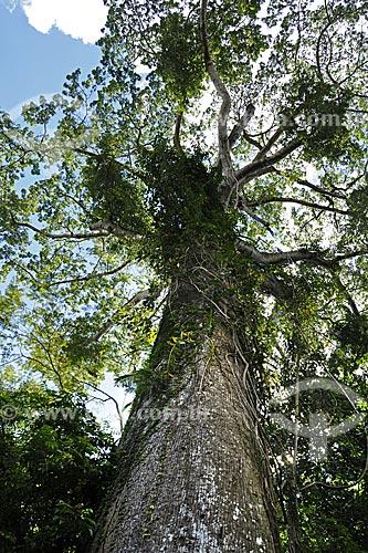Assunto: Samaúma (Ceiba pentandra (L.) Gaertn) Família Bombacaceae no Museu Paraense e Parque Botânico Emílio Goeldi / Local: Belém - Pará - Brasil / Data: 05-05-2009