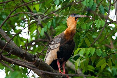 Assunto: Curicaca (Theristicus caudatus) no Parque Nacional  das Emas / Local: Parque Nacional das Emas - Mineiros - Goias (GO) / Data: Outubro de 2008