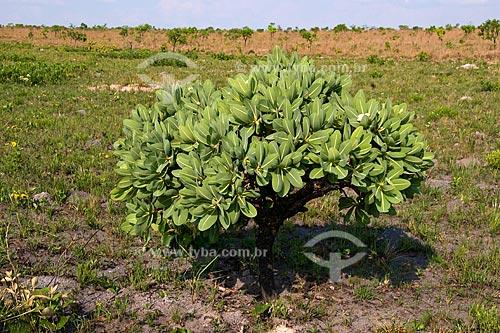 Assunto: Pau-santo (Kielmeyera coriacea ) no Parque Nacional das Emas / Local: Parque Nacional das Emas - Mineiros - Goiás (GO) - Parque das Emas / Data: Outubro de 2008