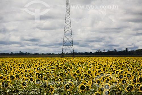 Assunto: Plantação de Girassóis para produção de óleo vegetal na rodovia BR-163 / Local:  Mato Grosso (MT) - Brasil  / Data: Abril de 2009