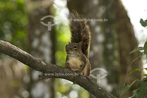 Assunto: Esquilo, Serelepe ou Caxinguelê (Scirus aestuans ingrami) na APA da Serrinha do Alambari  / Local:  Resende - Rio de Janeiro (RJ) - Brasil  / Data: 08/2007
