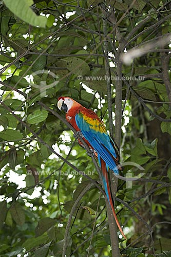 Assunto: Araracanga (Ara macao) na floresta amazônica do INPA  / Local:  Manaus - Amazonas (AM) - Brasil  / Data: 11/2007
