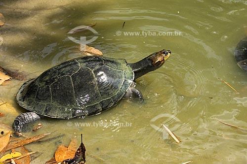 Assunto: Tartaruga-da-amazônia (Podocnemis expansa), na Floresta Amazônica do INPA  / Local:  Manaus - Amazonas (AM) - Brasil  / Data: 11/2007