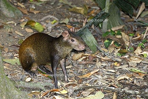 Assunto: Cotia (Dasyprocta azarae), na Floresta Amazônica do INPA  / Local:  Manaus - Amazonas (AM) - Brasil  / Data: 11/2007
