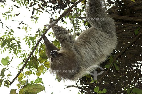 Assunto: Preguiça-real (Choloepus didactylus) na UFAM (Universidade Federal do Amazonas) / Local:  Manaus - Amazonas (AM) - Brasil  / Data: 11/2007