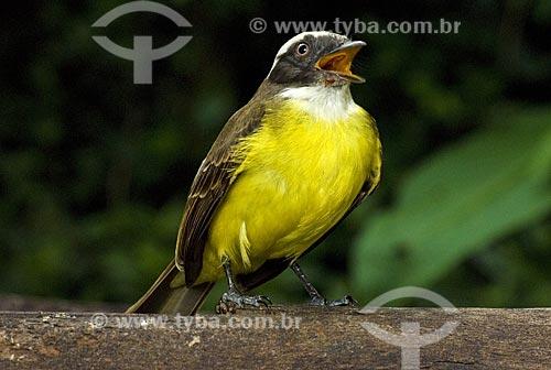 Assunto: Bem-te-vi  (Pitangus sulphuratus) da familia dos Tiranideos  / Local:  Niterói - RJ - Brazil  / Data: Junho de 2008