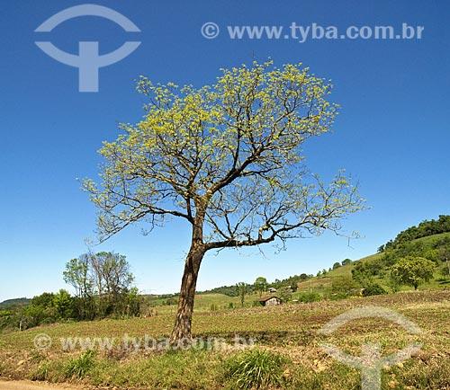 Assunto: Árvores em plantação de milho  / Local: Rodeio Bonito - RS - Brasil  / Data: Setembro de 2009
