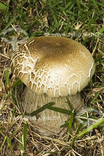 Assunto: Cogumelo branco na grama  / Local:  Niterói - RJ - brasil  / Data: Dezembro de 2009