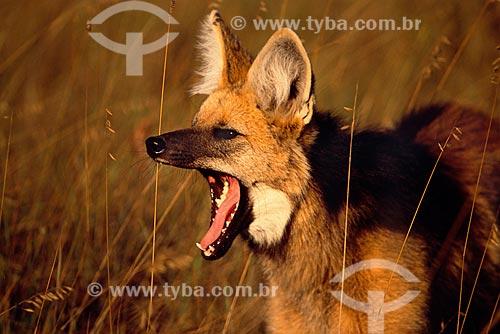 Assunto: Lobo-guará (Chrysocyon brachyurus) em seu habitat natural, o cerrado brasileiro  / Local:  Parque Nacional da Serra da Canastra - Minas Gerais (MG) - Brasil  / Data: 07/2004