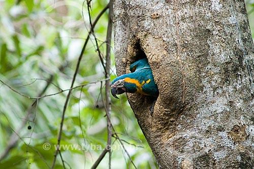 Assunto: Arara-barba-azul (Ara glaucogularis) na porta de seu ninho - Espécie ameaçada de extinção, com cerca de 100 aves apenas na natureza  / Local:  Palma Sola - Departamento de Beni - Bolívia  / Data: 11/2005