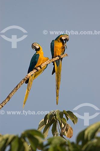 Assunto: Araras-canindé (Ara ararauna) pousadas em galho de embaúba  / Local:  Departamento de Beni - Bolívia  / Data: 11/2005