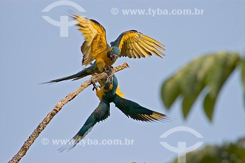 Assunto: Araras-barba-azul (Ara glaucogularis), irmãos, brincando em galho de embaúba - Espécie ameaçada de extinção, com cerca de 100 aves apenas na natureza  / Local:  Palma Sola - Departamento de Beni - Bolívia  / Data: 11/2005