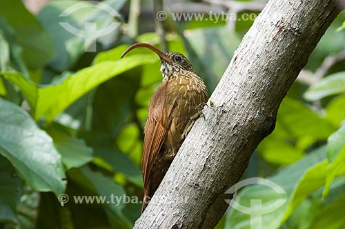 Assunto: Arapaçu-de-bico-torto (Campylorhamphus trochilirostris) em pomar de fazenda  / Local:  Palma Sola - Departamento de Beni - Bolívia  / Data: 11/2005