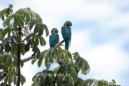 Assunto: Araras-barba-azul (Ara glaucogularis) em galho de embaúba - Espécie ameaçada de extinção, com cerca de 100 aves apenas na natureza  / Local:  Palma Sola - Departamento de Beni - Bolívia  / Data: 11/2005