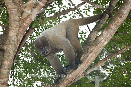 Assunto: Macaco-barrigudo (Lagothrix lagotricha cana) macho, no complexo turístico Amazon Ecopark Jungle Lodge  / Local:  Manaus - Amazonas (AM) - Brasil  / Data: 01/2006