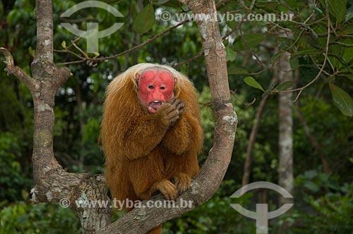 Assunto: Uacari-vermelho (Cacajao rubicundus) macho, no complexo turístico Amazon Ecopark Jungle Lodge  / Local:  Manaus - Amazonas (AM) - Brasil  / Data: 01/2006