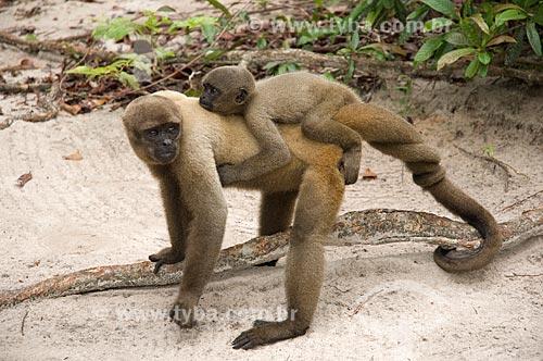 Assunto: Macaco-barrigudo (Lagothrix lagotricha cana) fêmea, com filhote nas costas, no complexo turístico Amazon Ecopark Jungle Lodge  / Local:  Manaus - Amazonas (AM) - Brasil  / Data: 01/2006
