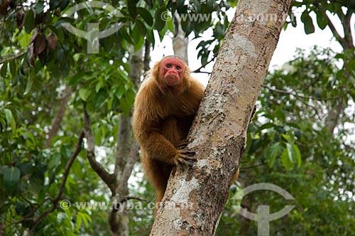 Assunto: Uacari-vermelho (Cacajao rubicundus) fêmea, no complexo turístico Amazon Ecopark Jungle Lodge  / Local:  Manaus - Amazonas (AM) - Brasil  / Data: 01/2006