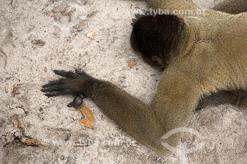 Assunto: Detalhe de mão de Macaco-barrigudo (Lagothrix lagotricha cana) macho, com seis dedos, no complexo turístico Amazon Ecopark Jungle Lodge  / Local:  Manaus - Amazonas (AM) - Brasil  / Data: 01/2006