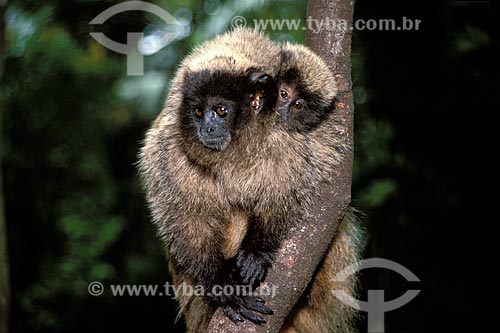 Assunto: Sauá (Callicebus nigrifrons) com filhote nas costas, na Mata Atlântica do Parque das Águas de São Lourenço  / Local:  São Lourenço - Minas Gerais (MG) - Brasil  / Data: 03/2006