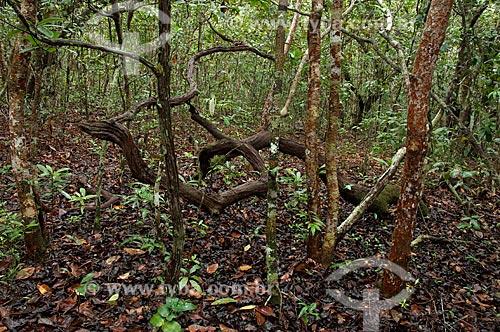 Assunto: Vegetação de campinarana amazônica na Reserva Biológica da Campina, do Instituto Nacional de Pesquisas da Amazônia - INPA / Local: perto de Manaus - Amazonas (AM) - Brasil  / Data: 05/01/2006
