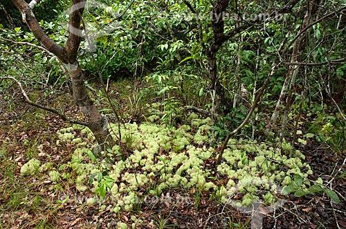 Assunto: Líquens (Cladonia sp.) de vegetação amazônica na Reserva Biológica da Campina, do Instituto Nacional de Pesquisas da Amazônia - INPA / Local: perto de Manaus - Amazonas (AM) - Brasil  / Data: 05/01/2006