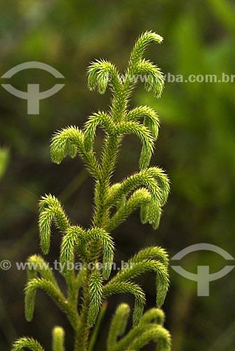 Assunto: Pequena espécie de samambaia  / Local: Parque Nacional das Emas - Goiás (GO) - Brasil  / Data: 13/09/2007