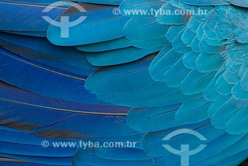 Assunto: Detalhe da asa da arara-de-barriga-amarela (Ara ararauna) também conhecida como Arara Canindé na Floresta Amazônica  / Local:  Amazonas (AM) - Brasil  / Data: 23/10/2007
