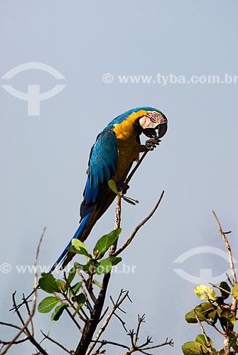 Assunto: Arara-de-barriga-amarela (Ara ararauna) também conhecida como Arara Canindé comendo cajuzinho no Parque Nacional das Emas  / Local:  Goiás (GO) -  Brasil  / Data: 11/09/2007