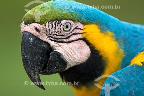 Assunto: Arara-de-barriga-amarela (Ara ararauna) também conhecida como Arara Canindé na Floresta Amazônica  / Local:  Amazonas (AM) - Brasil  / Data: 23/10/2007