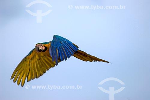 Assunto: Arara-de-barriga-amarela (Ara ararauna) também conhecida como Arara Canindé voando no Parque Nacional das Emas  / Local:  Goiás (GO) -  Brasil  / Data: 11/09/2007